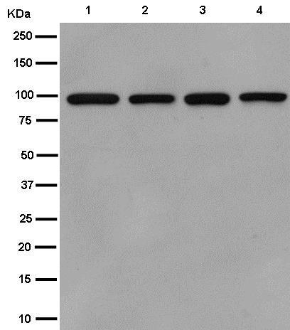 Western blot - Anti-FANCB antibody [EPR15513] (ab186729)
