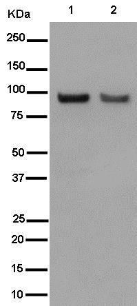Western blot - Anti-Argonaute-2 antibody [EPR10411] (ab186733)