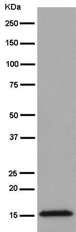 Western blot - Anti-TOMM20 antibody [EPR15581-39] - Mitochondrial Marker (ab186734)