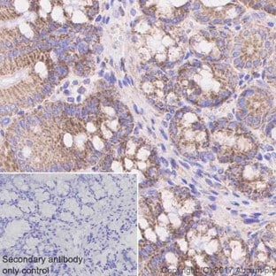 Immunohistochemistry (Formalin/PFA-fixed paraffin-embedded sections) - Anti-TOMM20 antibody [EPR15581-39] - Mitochondrial Marker (ab186734)
