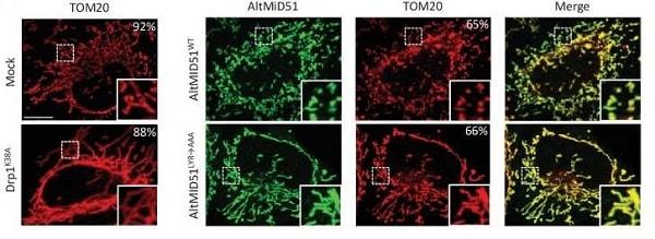 Immunocytochemistry/ Immunofluorescence - Anti-TOMM20 antibody [EPR15581-39] - Mitochondrial Marker (ab186734)