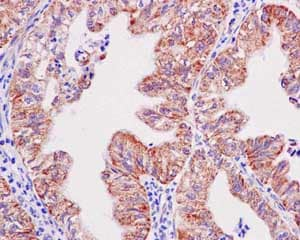 Immunohistochemistry (Formalin/PFA-fixed paraffin-embedded sections) - Anti-TOMM20 antibody [EPR15581-54] - Mitochondrial Marker (ab186735)