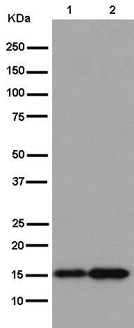 Western blot - Anti-TOMM20 antibody [EPR15581-54] - Mitochondrial Marker (ab186735)