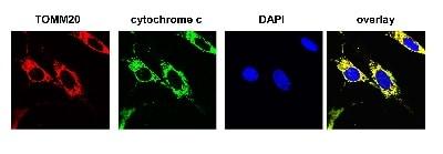 Immunocytochemistry/ Immunofluorescence - Anti-TOMM20 antibody [EPR15581-54] - Mitochondrial Marker (ab186735)