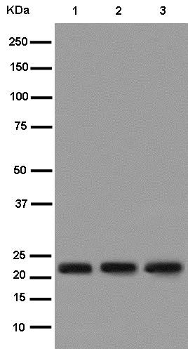 Western blot - Anti-Bok antibody [EPR15331] (ab186745)