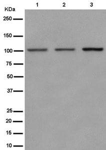 Western blot - Anti-Nesprin3 antibody [EPR15623-5] (ab186751)