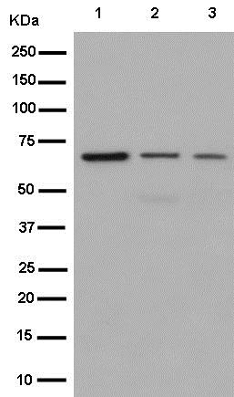 Western blot - Anti-S6K1 antibody [EPR13429] (ab186753)