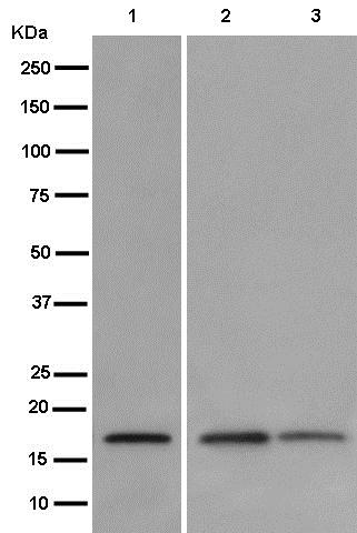 Western blot - Anti-REEP5 antibody [EP11115] (ab186755)