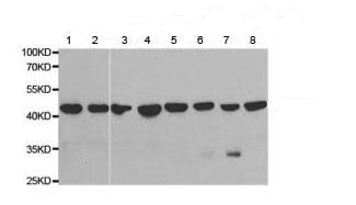 Western blot - Anti-PSMC6 antibody (ab186858)
