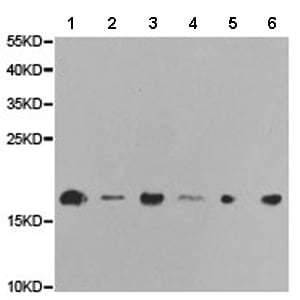 Western blot - Anti-RNA polymerase II RPB4 antibody (ab186868)