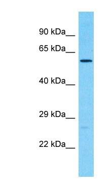 Western blot - Anti-PCTAIRE2 antibody - C-terminal (ab186914)