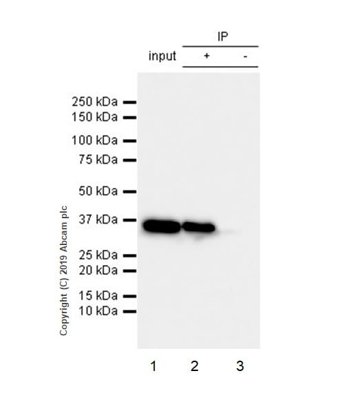 Immunoprecipitation - Anti-GAPDH antibody [EPR6256] - BSA and Azide free (ab186930)