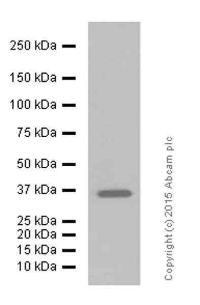 Western blot - Anti-GAPDH antibody [EPR6256] - BSA and Azide free (ab186930)