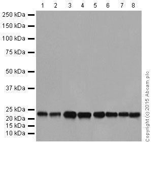 Western blot - Anti-RhoA + RhoC antibody [EPR18133] (ab187026)