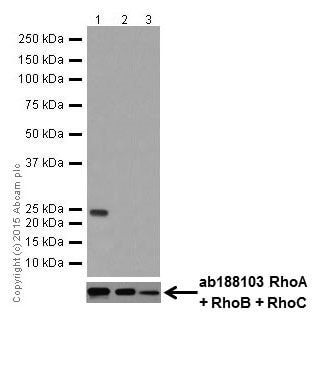 Western blot - Anti-RhoA antibody [EPR18134] (ab187027)