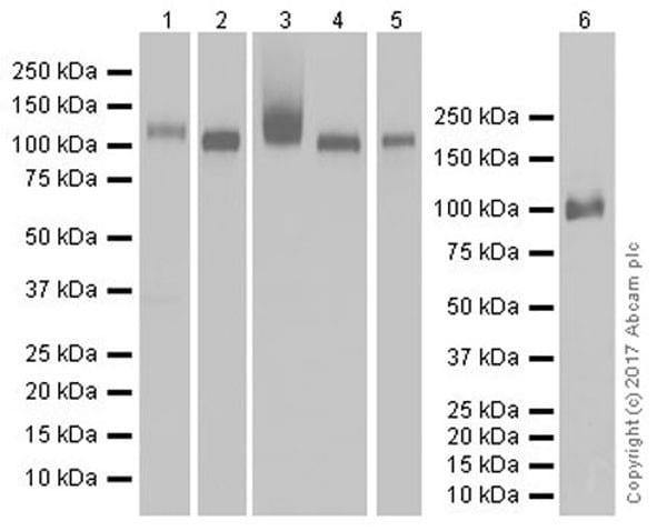 Anti-CD26 antibody [EPR18215]