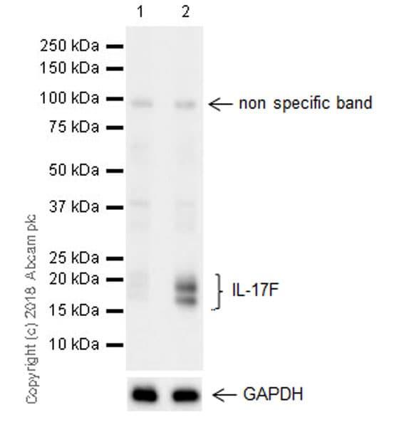 Western blot - Anti-IL-17F antibody [EPR17830-169] (ab187059)