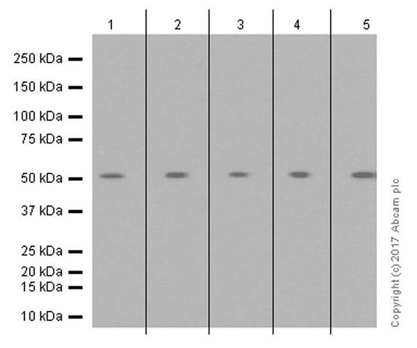 Western blot - Anti-MLKL (phospho S358) antibody [EPR9514] (ab187091)