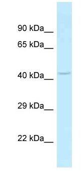 Western blot - Anti-SLC35C2 antibody (ab187097)
