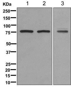 Western blot - Anti-PADI3 / PAD3 antibody [EPR12165(B)] - BSA and Azide free (ab187138)