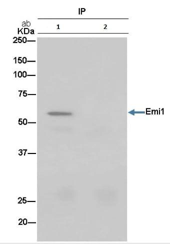 Immunoprecipitation - Anti-Emi1 antibody [EPR15320-103] (ab187144)
