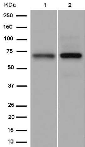 Western blot - Anti-PCK2 antibody [EPR14224] - C-terminal (ab187145)