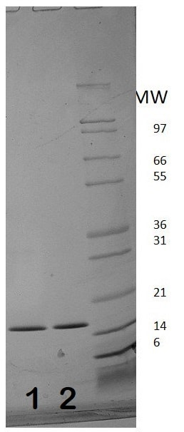 SDS-PAGE - Recombinant human Interferon alpha 2b protein (Active) (ab187208)