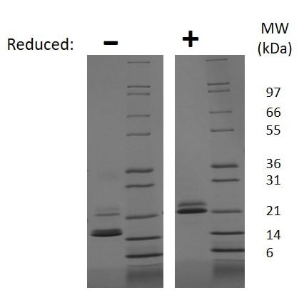 SDS-PAGE - Recombinant mouse IL-33 protein (ab187237)