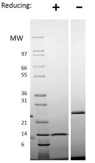 SDS-PAGE - Recombinant mouse Activin A protein (Animal Free) (ab187245)