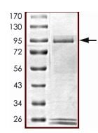SDS-PAGE - Recombinant human ALK protein (Active) (ab187246)