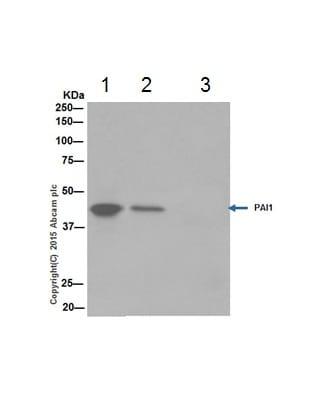 Immunoprecipitation - Anti-PAI1 antibody [EPR17795] (ab187262)