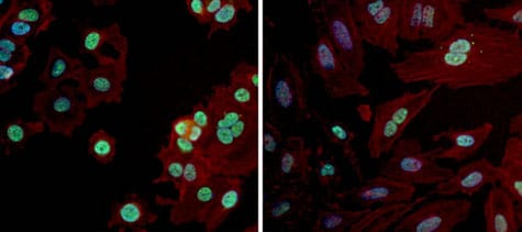 Immunocytochemistry/ Immunofluorescence - Anti-PAX7 antibody (ab187339)