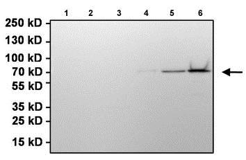 Immunoprecipitation - Anti-Firefly Luciferase antibody (ab187340)