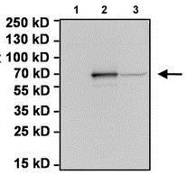 Western blot - Anti-Firefly Luciferase antibody (ab187340)