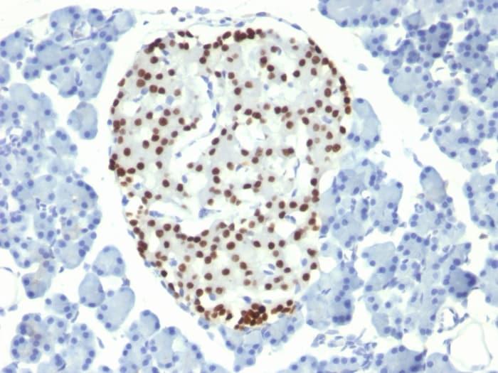 Immunohistochemistry (Formalin/PFA-fixed paraffin-embedded sections) - Anti-Nkx2.2 antibody [NX2/294] (ab187375)