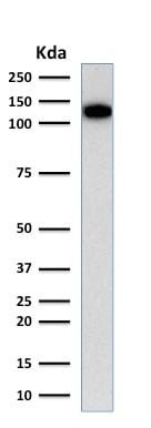 Western blot - Anti-CD31 antibody [C31.3] (ab187377)