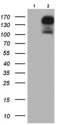 Western blot - Anti-Gli2 antibody [OTI1F9] (ab187386)