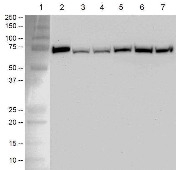 HSP70 capture antibody specificity by Western blot analysis