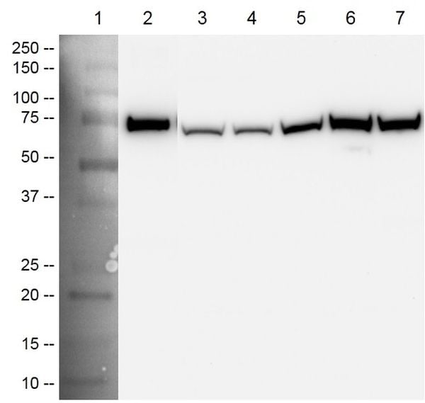 HSP70 detector antibody specificity by Western blot analysis