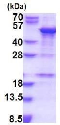 SDS-PAGE - Recombinant Human SNAPC1 protein (denatured) (ab187424)