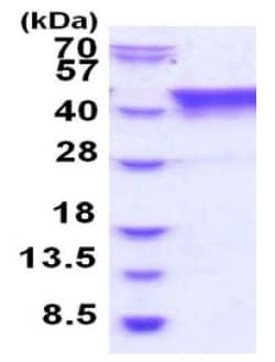 SDS-PAGE - Recombinant Human TIAL1 protein (ab187470)