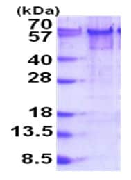SDS-PAGE - Recombinant Human YY1 protein (His tag) (ab187479)
