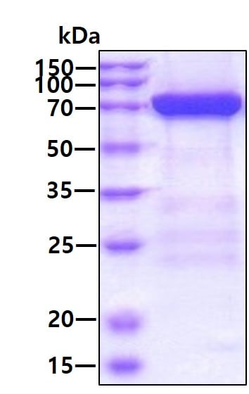 SDS-PAGE - Recombinant Human MX1 protein (ab187486)