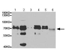 Western blot - Anti-Twinkle antibody (ab187517)