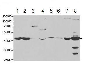 Western blot - Anti-SAHH antibody (ab187518)