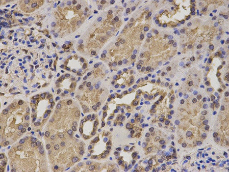 Immunohistochemistry (Formalin/PFA-fixed paraffin-embedded sections) - Anti-HIF1AN/FIH-1 antibody (ab187524)
