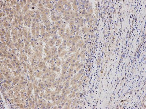 Immunohistochemistry (Formalin/PFA-fixed paraffin-embedded sections) - Anti-Geminin antibody (ab187553)