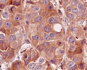Immunohistochemistry (Formalin/PFA-fixed paraffin-embedded sections) - Anti-CDC42 antibody [EPR15620] (ab187643)