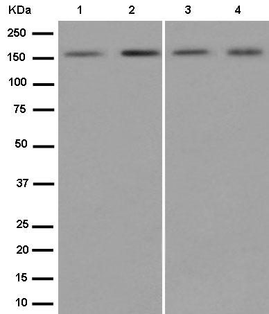 Western blot - Anti-SAFB antibody [EPR13588] - C-terminal (ab187650)