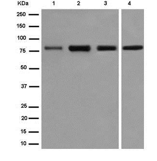 Western blot - Anti-MCAK antibody [EPR14838] (ab187652)